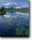 Stock photo. Caption: Yellow pond lilies Tundra pond and Mt. McKinley Denali National Park Alaskan Range,  Alaska -- united states america snow peak peaks mountain water lily arctic ponds parks glaciers mountains capped summer dramatic majestic national landscape landscapes breathtaking Nuphar luteum granduer polysepalum sunny clear dramatic morning light majesty