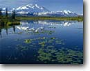 Stock photo. Caption: Yellow pond lilies Tundra pond and Mt. McKinley Denali National Park Alaskan Range,  Alaska -- united states america snow peak peaks mountain water lily arctic ponds parks glaciers mountains capped summer dramatic majestic national landscape landscapes breathtaking Nuphar luteum granduer polysepalum