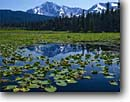 Stock photo. Caption: Yellow pondlily Kenai Mountains Chugach National Forest Alaska -- united states america snow peak peaks mountain water lily lilies ponds   capped summer dramatic breath taking  landscape landscapes breathtaking Nuphar luteum polysepalum  reflection reflections alaskan