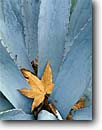 Stock photo. Caption: Arizona sycamore leaf in agave Galiuro Mountains Sonoran Desert Arizona -- deserts closeup closeups detail details southwest southwestern united states america leaves leafs sycamores agaves artistic nature
