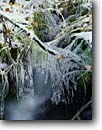 Stock photo. Caption: Aspen leaves in icy creek Hoover Wilderness Toiyabe National Forest Sierra Nevada,  California -- mountain mountains snow snowfall cold crisp united states america frozen freezing cold sierras freeze icicle icicles frigid creeks detail details eastern