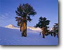 Stock photo. Caption: Foxtail pines on Tyndall Benches John Muir Trail Sequoia National Park Sierra Nevada, California -- pacific crest country sierras backcountry highcountry cross country skiing winter snow covered crosscountry wildernesses adventure pristine solitude white scenic landscape landscapes timberline united states america pine trees blue sky skies kings canyon