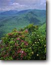 Stock photo. Caption: Mountain laurel Caesars Head State Park Mountain Bridge Wilderness South Carolina -- kalmia latifolia Spoonwood southern southeastern appalachian mountains summer shrubs flowers wildflowers parks landscape landscapes united states america hazy vista vistas view views vast distance wildernesses verdant sweeping