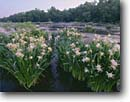 Stock photo. Caption: Rocky shoals spider lily Catawba River Landsford Canal State Park Lancaster County, South Carolina -- flowers wildflower wildflowers lilies rivers parks southern southeastern southeast united states america summer spring Hymenocallis coronaria wetland wetlands swamp swamps swampy rivers
