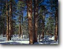 Stock photo. Caption: Ponderosa pines in winter Kaibab Plateau Kaibab National Forest Colorado Plateau,   Arizona -- united states america landscape landscapes sunny clear scenic scenics  scene canyons country parks tree trees mountains plateaus pine snow snowy wintery cold forests afternoon large virgin growth
