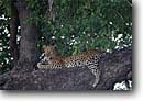 Stock photo. Caption: Leopard Mombo,  Moremi Game Reserve Chief Island,  Okavanga Delta Maun,  Botswana,  Africa -- safari safaris mammal mammals leopards cat cats reserves african spots spotted animal animals resting tree relaxed relax laid back mammal mammals wildlife habitat reserves large wild
