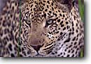 Stock photo. Caption: Leopard Mombo,  Moremi Game Reserve Chief Island,  Okavanga Delta Maun,  Botswana,  Africa -- safari safaris mammal mammals leopards cat cats reserves african spots spotted potrait portraits stare glare intense intensity concentration animal animals wildlife habitat reserves large wild