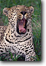 Stock photo. Caption: Leopard Mombo,  Moremi Game Reserve Chief Island,  Okavanga Delta Maun,  Botswana,  Africa -- safari safaris mammal mammals leopards cat cats reserves african spots spotted yawn yawning tongue sleepy naps animal animals wildlife habitat reserves large wild mouth open teeth tongue